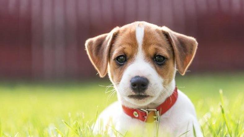 pes, jack russell
