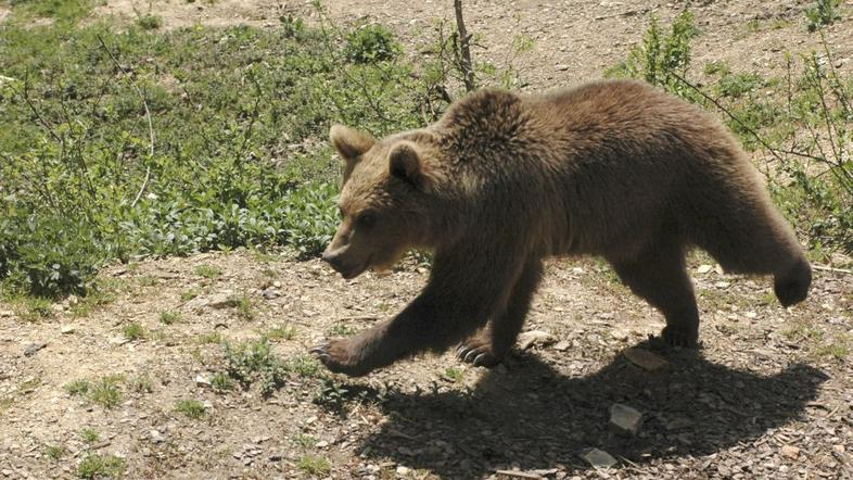 po gozdu na sledi medvedu Žurnal24