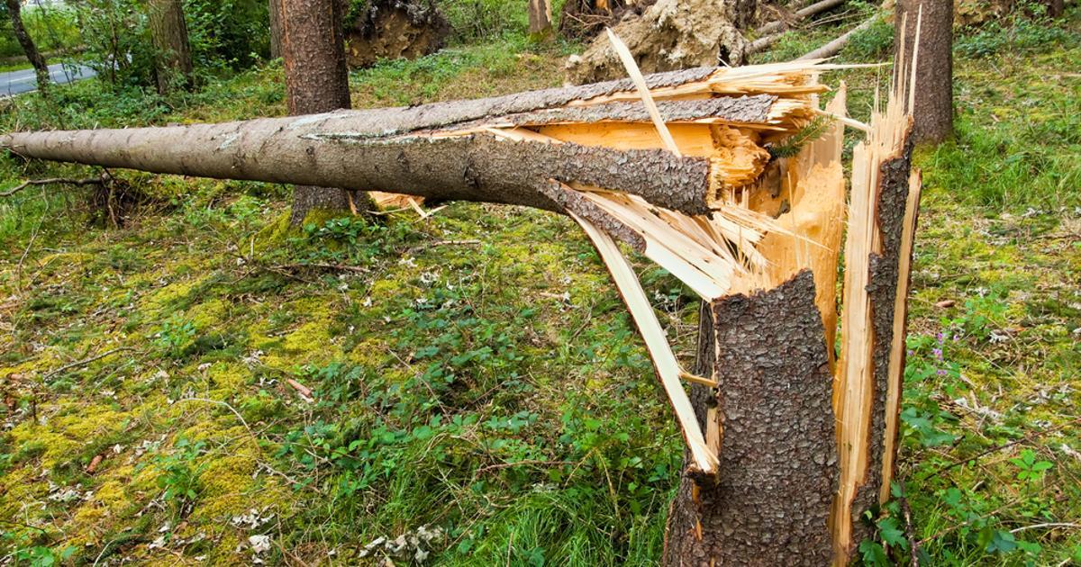 подрубленного дерева